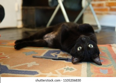 A black indoor cat rolls onto his back and stairs upside down