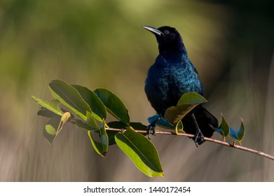 A black and iridescent blue  Common Grackle perched on a branch with bright green leaves in the bright sun.