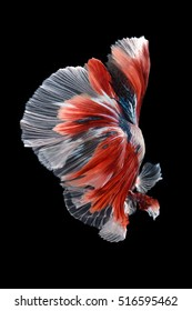 Black isolated Betta fish