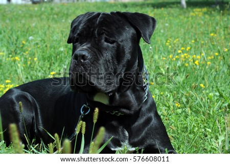 Black Italian Mastiff Italian Canecorso Dog Stock Photo Edit Now