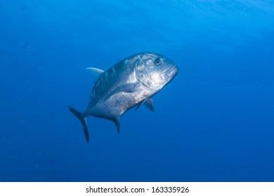 black jack fish black trevally