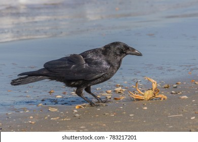 Black jackdaw and a crab on the beach. The crab is fighting for its life