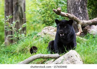 Black jaguar amidst large rocks and tree trunks/Black Jaguar/Black Jaguar