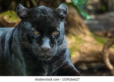 Black Jaguar at Chester Zoo in the UK