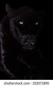 Black Jaguar Images Stock Photos Vectors Shutterstock