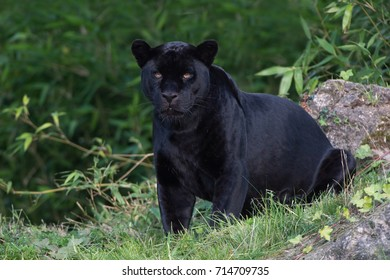Black Jaguar deep in a forest/Black Panther/Jaguar (Panthera Onca)