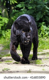 Black Jaguar or Black Panther - Beautiful and elegant cat walking towards the Viewer - New Version 1