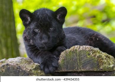 Black jaguar (Panthera onca) cub