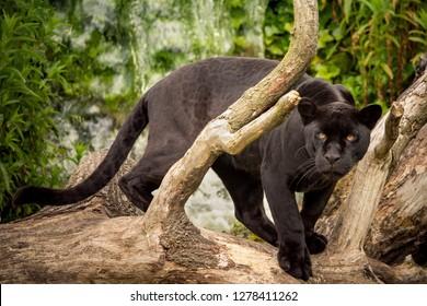 A Black Jaguar prowling