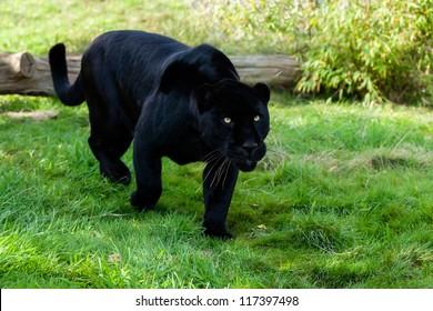 Black Jaguar Stalking through Grass Panthera Onca