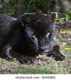 Black jaguar in Xcaret zoo - Yucatan, Mexico