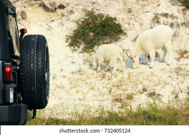 The black Jeep spare tire in the back of the vehicle and the white mountain goats on Icefield highway in Jasper National Park, AB on September 5, 2017