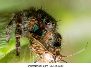 black jumping spider with green mouth and eyes eats bug