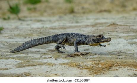 Black kajman Melanosuchus niger