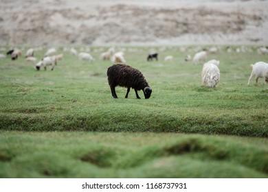 Black Kashmir Himalaya sheep eating grass in highland plateau
