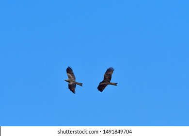 Black kite against blue sky in upper lusatia