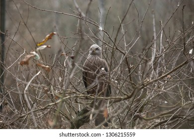 The black kite aka Milhafre Preto  (Milvus migrans) is a medium-sized bird of prey in the family Accipitridae, which also includes many other diurnal raptors