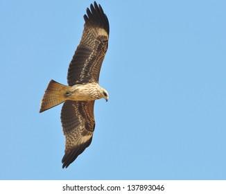 Black Kite Bird with fish in flight