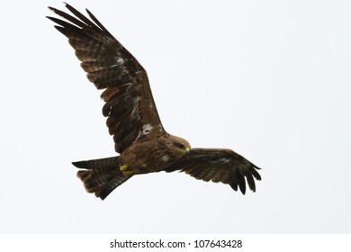 Black Kite Bird in flight