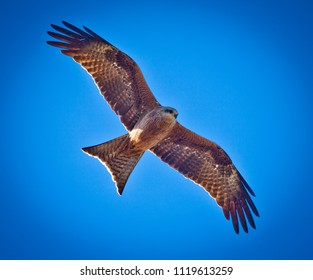 Black Kite, Bird of prey on the wing flying above wings outstretched. Hunting for food.