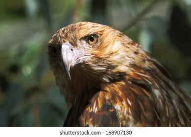 Black Kite Closeup