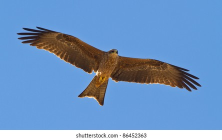 Black Kite,  Cravens Peak
