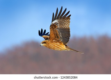 Black kite in flight, Milvus migrans. Bird of prey flying above snowy meadow with catch. Kite with open wings and open bill.
