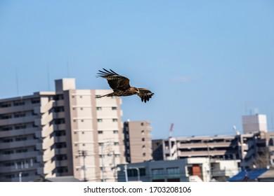 A black kite flying over city area , Takamatsu city, Kagawa, Shikoku, Japan