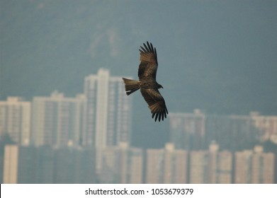 Black kite in front of Hong Kong