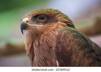 Black Kite : Hawk