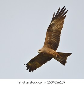 Black Kite, a migratory raptor bird, flying and looking for food on sunny day with clear sky at Nakhon Nayok reserve area, Thailand. Beautiful wild animal in natural habitat of Asian tropical country
