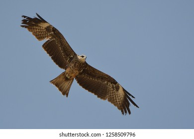 Black Kite / Milvus migrans