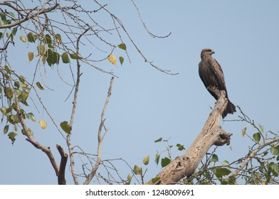 Black kite (Milvus migrans). Agra. Uttar Pradesh. India.