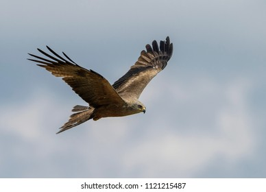 Black Kite - Milvus migrans, beautiful large raptor from Old World forests and hills, Eastern Rodope mountains, Bulgaria.