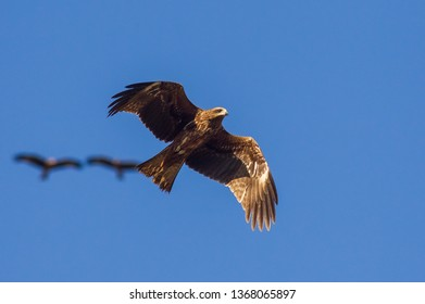 Black Kite (Milvus migrans) is both a carrion eater and a predator.