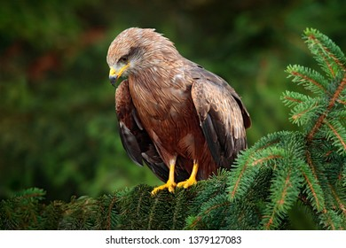 Black Kite, Milvus migrans, brown bird of prey sitting on spruce tree branch with cone. Kite in the nature habitat, green vegetation. Wildlife Germany. Kite in the forest habitat.