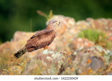 Black Kite, Milvus migrans, brown bird of prey sitting on rock stone in the mountain, animal in the habitat. Wildlife scene from nature. Bird of prey from Bulgaria, summer day in nature, wildlife.