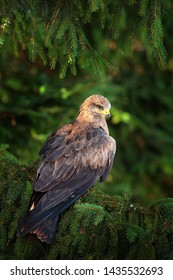 Black Kite, Milvus migrans, brown bird of prey sitting on spruce tree branch with cone. Kite in the nature habitat, green vegetation. Wildlife Slovakia.
