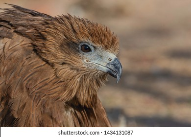 Black kite (Milvus migrans) close up.The upper plumage is brown but the head and neck tend to be paler. The patch behind the eye appears darker.