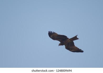 Black kite (Milvus migrans) in flight. Agra. Uttar Pradesh. India.