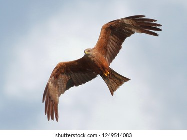 Black kite milvus migrans in flight with semi-straightened wings lit by the sun, close-up