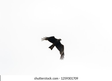 Black Kite (Milvus migrans) in the flight.