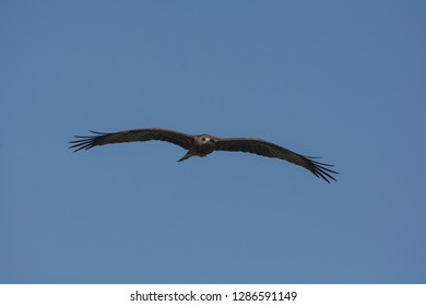 Black kite (Milvus migrans) in flight coming straight.The upper plumage is brown but the head and neck tend to be paler.The patch behind the eye appears darker.