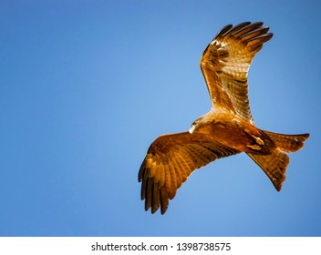 Black kite, Milvus migrans in flight in Senegal, Africa. Close up photo of big eagle. It is wildlife photo. There is blue sky. There is sunny day.