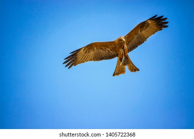 Black kite, Milvus migrans in flight in Senegal, Africa. Close up photo of big eagle. He carries a twig in his claw It is wildlife photo. There is blue sky.