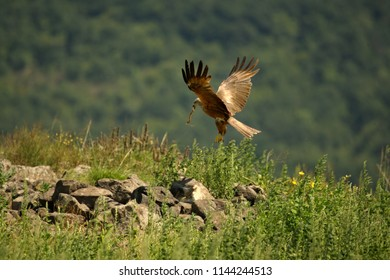 Black Kite (Milvus migrans migrans) flying and hunting with green background. Black Kite hunting over the rocks in Bulgaria, Madzharovo.