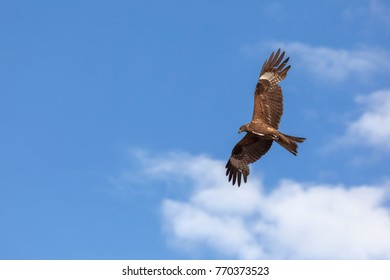 Black kite (Milvus migrans) flying in blue Sky in Siberia