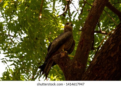 Black Kite (Milvus migrans) in the forest