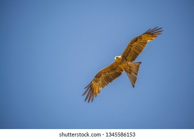Black kite - Milvus migrans isolated in blue sky