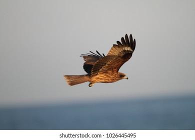 Black Kite (Milvus migrans) in Japan
